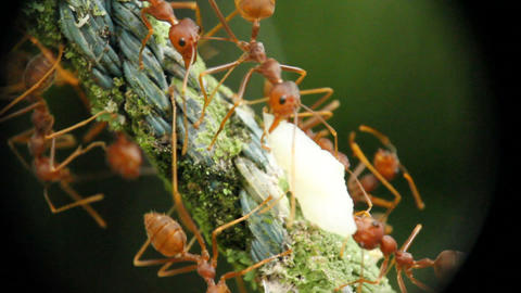 Macro Ants With Food Stock Video Footage