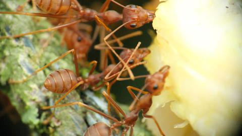 Ants With Food Macro 3 Footage