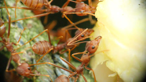 Ants With Food Macro 3 Stock Video Footage