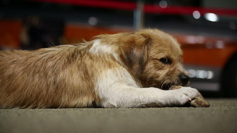 Small funny dog eats bone Stock Video Footage