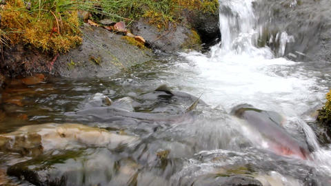 hunchback salmon (Oncorhynchus gorbuscha) Stock Video Footage
