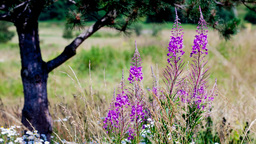 fireweed swaying in the wind Footage