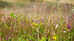 Meadow grass and flowers Stock Video Footage