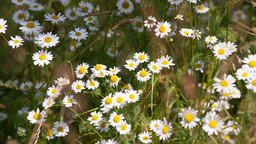 daisies swaying in the wind Stock Video Footage