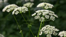 Apiaceae plant Stock Video Footage