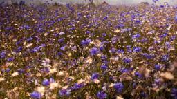 Flowers cornflowers on a summer meadow Stock Video Footage