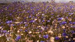 Flowers cornflowers on a summer meadow Stock Video Footage