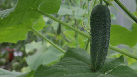 Cucumber macro fruit Stock Video Footage