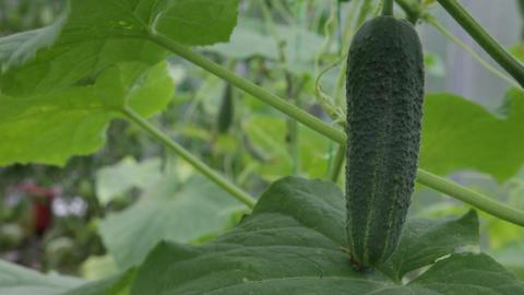 Cucumber macro fruit Stock Video Footage