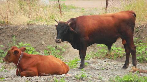 Cows 3 Footage