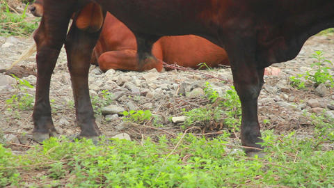 Cows 3 Stock Video Footage