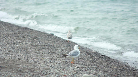 Gulls on the Beach 4 Footage