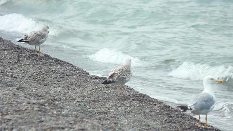 Gulls on the Beach 4 Footage