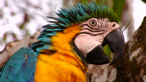 Close up of a parrot face Stock Video Footage