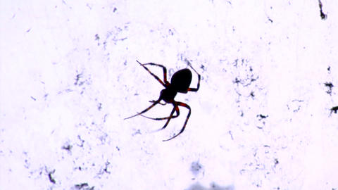 A black widow spider in it's web Stock Video Footage