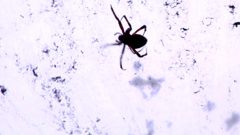 A black widow spider in it's web Footage