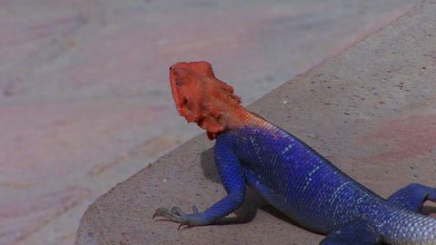A beautiful red and blue lizard sits on a rock in Stock Video Footage