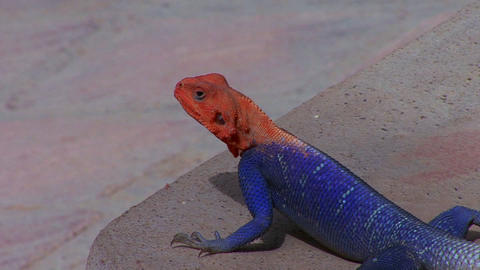 A beautiful red and blue lizard sits on a rock in  Footage