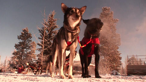 Sled dogs are ready to work in the Arctic Stock Video Footage