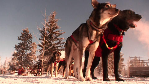 Sled dogs are ready to work in the Arctic Footage