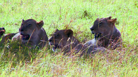 Lions lie in the grass on the African savannah Stock Video Footage