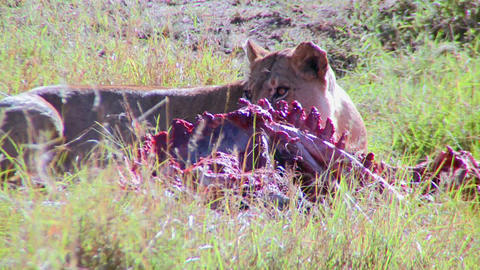 A big cat eats prey on the African savannah Live Action