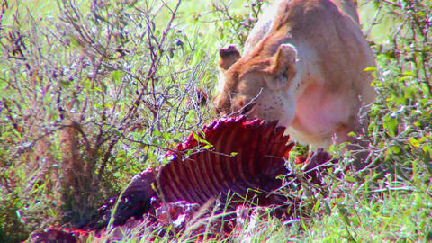 A lion eats prey on the African savannah Stock Video Footage
