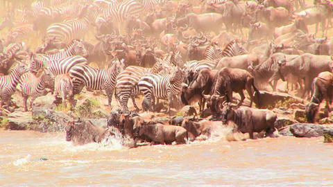 Herds of wildebeest and zebra cross a river during Footage