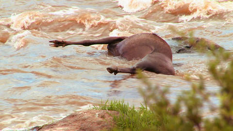 A rotting corpse of a wildebeest lies in a river i Stock Video Footage