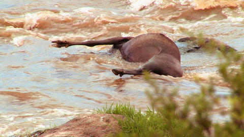A rotting corpse of a wildebeest lies in a river i Footage