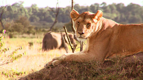 A beautiful lion poses on a rock in Africa Stock Video Footage