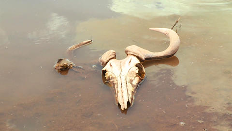 The skull of a dead wildebeest sits in a river in Stock Video Footage