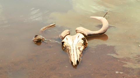 The skull of a dead wildebeest sits in a river in  Footage