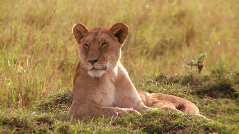 A beautiful lion lies in the grass in Africa Stock Video Footage