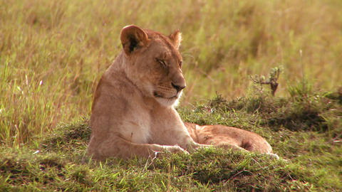 A beautiful lion lies in the grass in Africa Footage