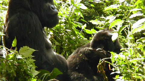 Mountain gorillas in the jungle Footage