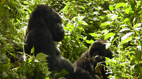 Mountain gorillas in the jungle Stock Video Footage