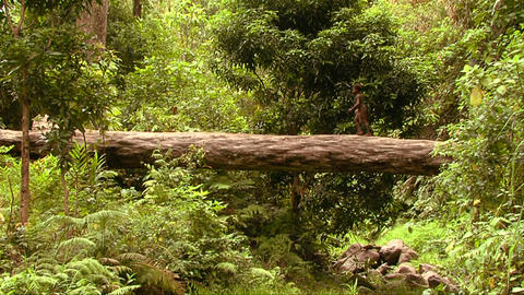 New Guine children walk across a log over a river Stock Video Footage