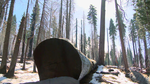 Giant Sequoia trees lie on the ground burned after Stock Video Footage