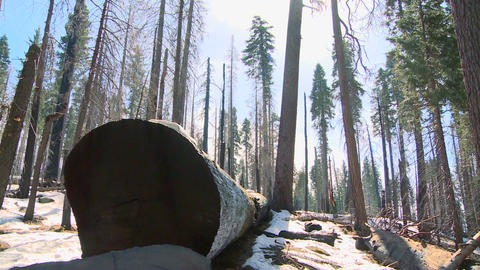 Giant Sequoia trees lie on the ground burned after Footage