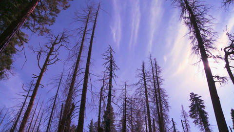 Low angle panning shot looking up at Giant Sequoia Stock Video Footage