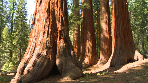 Tilt up giant Sequoia trees in Yosemite National P Stock Video Footage