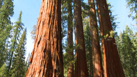 Tilt up giant Sequoia trees in Yosemite National P Footage