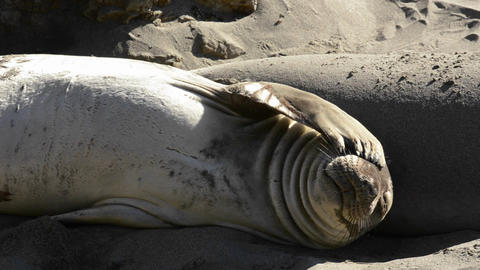 Northern Elephant Seals sunning on the beach at Pi Footage