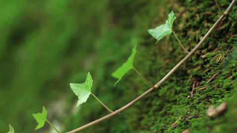 ivy vine on the mossy boulder Stock Video Footage