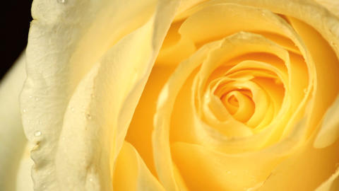 Yellow Roses stock footage