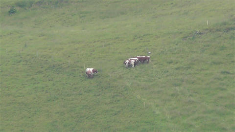 European Alps Kitzbuhel Austria Aerial 19 cows Stock Video Footage