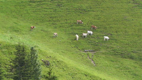 European Alps Kitzbuhel Austria Aerial 39 cows Stock Video Footage