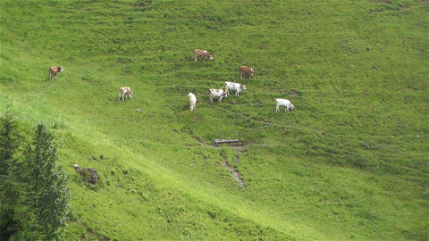 European Alps Kitzbuhel Austria Aerial 39 cows Stock Video Footage