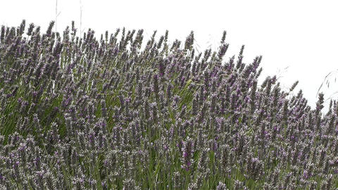 Lavender 2 Stock Video Footage